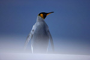King penguin (Aptenodytes patagonicus) in sandstorm on beach, Falkland Islands  -  Andy Rouse