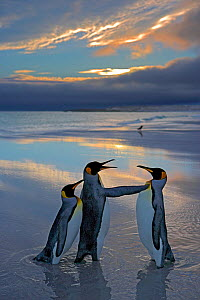 King penguin (Aptenodytes patagonicus) male protecting female from another male, Falkland Islands  -  Andy Rouse