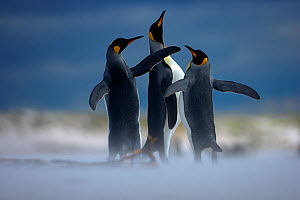 RF- King penguin (Aptenodytes patagonicus) three males displaying on beach, Falkland Islands. (This image may be licensed either as rights managed or royalty free.)  -  Andy  Rouse