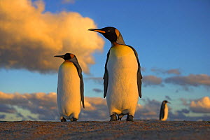 King penguin (Aptenodytes patagonicus) pair at sunset, Falkland Islands  -  Andy Rouse