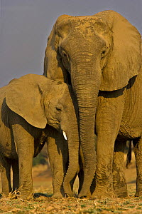 African elephant (Loxidonta africana) female and calf in breeding herd, South Luangwa NP, Zambia  -  Andy Rouse