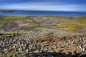 Aerial view of huge colony of King Penguin (Aptenodytes patagonicus) white birds are adults, brown birds are chicks, Salisbury Plain, South Georgia  -  Andy Rouse