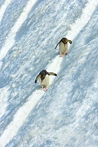 Macaroni penguin (Eudyptes chrysolophus) pair skiing across glacier, South Georgia - Andy Rouse
