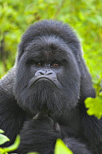 Mountain gorilla (Gorilla beringei beringei) silverback male portrait, Volcanoes NP, Virunga Mountains, Rwanda  -  Andy Rouse