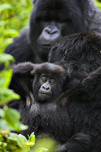 Mountain gorilla (Gorilla beringei beringei) mother with young and silverback male in background, Volcanoes NP, Virunga Mountains, Rwanda  -  Andy Rouse