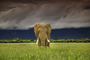 African elephant (Loxodonta africana) on plains under stormy sky, Marakele National Park, Waterberg Biosphere, South Africa  -  Andy Rouse