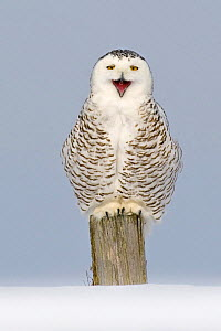 Snowy owl (Bubo scandiaca) perched on post, calling / yawning, Canada - Andy Rouse