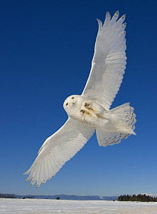 Snowy owl (Bubo scandiaca) flying over snowy landscape, Canada - Andy Rouse