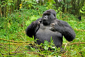 RF- Mountain gorilla (Gorilla beringei beringei) silverback male playing in habitat, drunk on bamboo shoots, Volcanoes National Park, Virunga mountains, Rwanda. Note - if gorillas eat an excess of bam...  -  Andy  Rouse