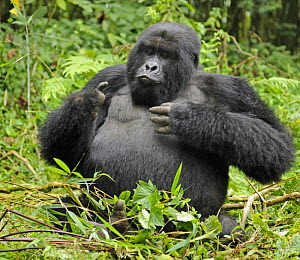 Mountain gorilla (Gorilla beringei beringei) silverback male playing in habitat, drunk on bamboo shoots, Volcanoes NP, Virunga mountains, Rwanda  Note - if gorillas eat an excess of bamboo shoots they...  -  Andy Rouse