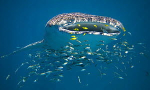Whale shark (Rhincodon typus) filter feeding, surrounded by other smaller fish, Ningaloo Reef, Western Australia - Andy Rouse
