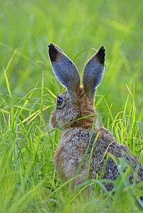 European brown hare (Lepus europaeus) showing markings on back of its ears, Wiltshire, UK  -  Andy Rouse