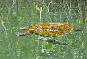 Galapagos green turtle (Chelonia mydas agassisi) resting in water, sleeping in mangrove forest, Galapagos  -  Andy Rouse