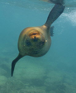 Galapagos sealion (Zalophus californianus wollebaeki) swimming underwater, upside down, Galapagos  -  Andy Rouse