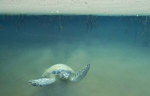 Galapagos green turtle (Chelonia mydas agassisi) swimming in murky water of mangrove forest, Galapagos  -  Andy Rouse