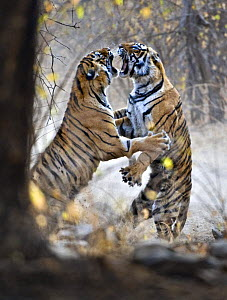 Bengal tiger (Panthera tigris tigris) female fighting with 18 months cub, Ranthambore NP, Rajasthan, India. They fight when it is time for the cubs to move on and find their own territory  -  Andy Rouse