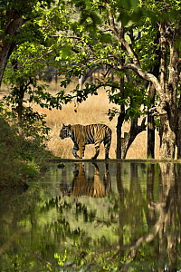 Bengal tiger (Panthera tigris tigris) male walking beside lake, Bandhavgarh NP, Madhya Pradesh, India - Andy Rouse