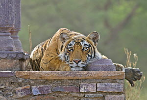 Bengal tiger (Panthera tigris tigris) female resting on wall of ruined temple, Ranthambore NP, Rajasthan, India - Andy Rouse