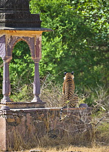 Bengal tiger (Panthera tigris tigris) rear view of female sitting on wall of ruined temple, Ranthambore NP, Rajasthan, India - Andy Rouse