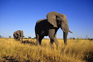 African elephant (Loxodonta africana) two bulls walking to water, Savute, Botswana  (non-ex) - Andy Rouse
