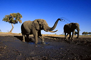 African elephant (Loxodonta africana) two bulls at mud wallow, Savute, Botswana    (non-ex) - Andy Rouse