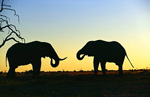 Silhouette of two African elephant (Loxodonta africana) bulls drinking at sunset, Savute, Botswana  (non-ex) - Andy Rouse
