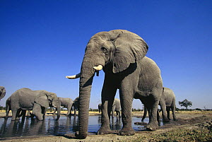 African elephant (Loxodonta africana) herd of bulls drinking at waterhole, Savute, Botswana   (non-ex) - Andy Rouse