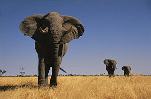 African elephant (Loxodonta africana) bulls walking to water, front one showing aggression, Savute, Botswana   (non-ex) - Andy Rouse