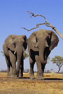 African elephant (Loxodonta africana) two bulls walking to waterhole, Savute, Botswana (non-ex) - Andy Rouse