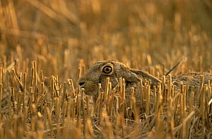 European brown hare (Lepus europaeus) crouching in autumn stubble field, UK  (non-ex)  -  Andy Rouse