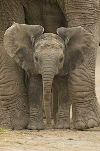 African elephant (Loxodonta africana) baby standing between legs of mother, captive, Knowsley Safari Park, UK (non-ex) - Andy Rouse