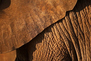 African elephant (Loxodonta africana) close up of hide skin of ear and body in late evening sun, Samburu, Kenya  (non-ex)  -  Andy Rouse