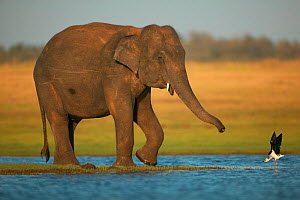RF- Asian Elephant (Elaphas maximus) with Black winged stilt (Himantopus himantopus) showing aggression, Minneriya National Park, Sri Lanka. Endangered species. (This image may be licensed either as r... - Andy  Rouse