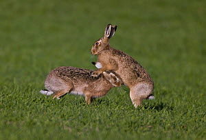 European brown hare (Lepus europaeus) male and female during courtship, UK  (non-ex)  -  Andy Rouse