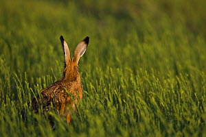 European brown hare (Lepus europaeus) rear view in crop field in evening, UK  (non-ex)  -  Andy Rouse