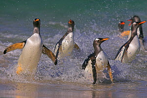 RF- Gentoo penguins (Pygoscelis papus papus) landing on beach, Falkland Islands. (This image may be licensed either as rights managed or royalty free.)  -  Andy  Rouse