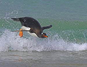 Gentoo penguin (Pygoscelis papus papus) surfing in wave, Falkland Islands  (non-ex) - Andy Rouse