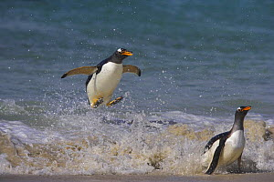 Gentoo penguin (Pygoscelis papus papus) jumping through waves to land on beach, Falkland Islands  (non-ex) - Andy Rouse