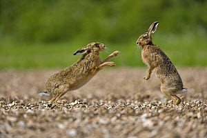 European brown hare (Lepus europaeus) female boxing male during courtship, UK  (non-ex)  -  Andy Rouse