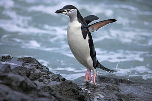 Chinstrap penguin (Pygoscelis antarcticus) jumping out of water, Antarctic Peninsula  (non-ex)  -  Andy Rouse