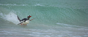 Gentoo penguin (Pygoscelis papua) surfing on wave, Falkland Islands  (non-ex) - Andy Rouse
