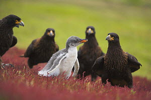 Striated / Forster's caracara (Phalcoboenus australis) group surrounding penguin chick, Falkland Islands  (non-ex)  -  Andy Rouse