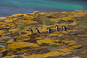 Rockhopper penguin (Eudyptes chrysocome) group walking from colony to sea, Falkland Islands (non-ex) - Andy Rouse