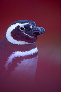 Magellanic / Jackass penguin (Spheniscus magellanicus) portrait amongst fireweed,  Falklands  (non-ex)  -  Andy Rouse