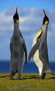King Penguins (Aptenodytes patagonicus) two males displaying for female, Falkland Islands  (non-ex)  -  Andy Rouse
