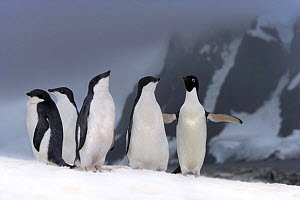 Adelie penguins (Pygoscelis adeliae) adult with chicks, Petermann Island, Antarctica (non-ex) - Andy Rouse
