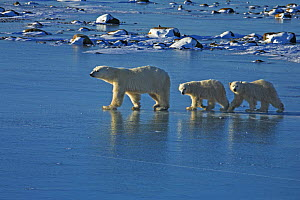 Polar bear (Ursus maritimus) mother and cubs walking on sea ice, Canada (non-ex)  -  Andy Rouse