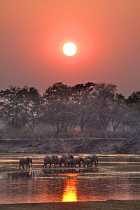 African elephant (Loxodonta africana) breeding herd crossing river at sunset, South Luangwa, Zambia  (non-ex)  -  Andy Rouse