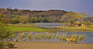 Bengal tiger (Panthera tigris tigris) walking beside water in front of fort, Ranthambore NP, Rajasthan, India~ (non-ex) - Andy Rouse