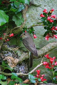 Spotted flycatcher (Muscicapa striata) at nest, UK - Dave Bevan
